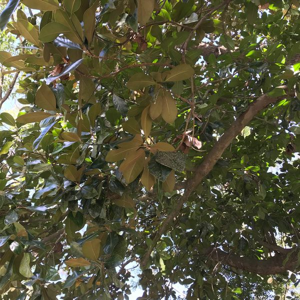 Branches of a Southern Magnolia Tree - Above and Beyond Tree Services