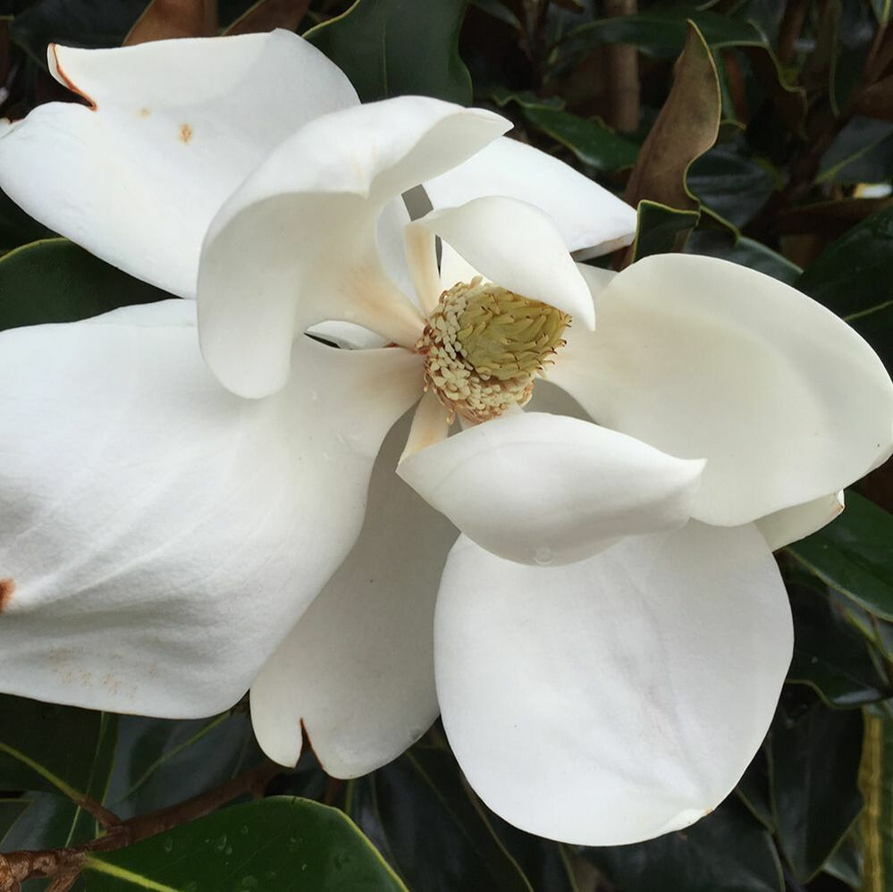 Southern Magnolia bloom - Above and Beyond Tree Services