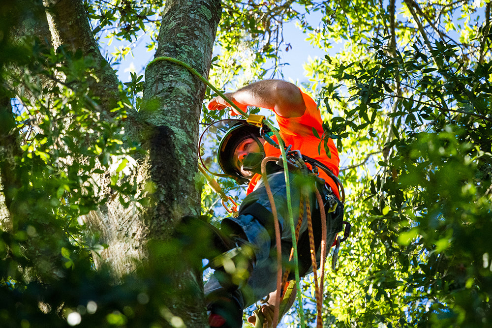 Above and Beyond Tree Services owner, Kevin Brislin, climbing a tree to trim