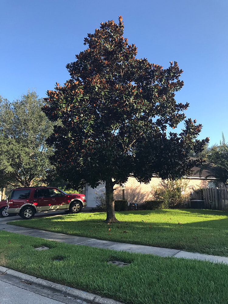 A beautifully maintained Southern Magnolia tree in front of a home in Florida - Above and Beyond Tree Services