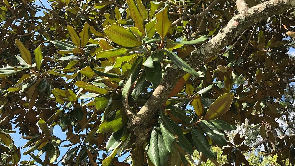 Close up of the branches of the southern magnolia tree -Above and Beyond Tree Services